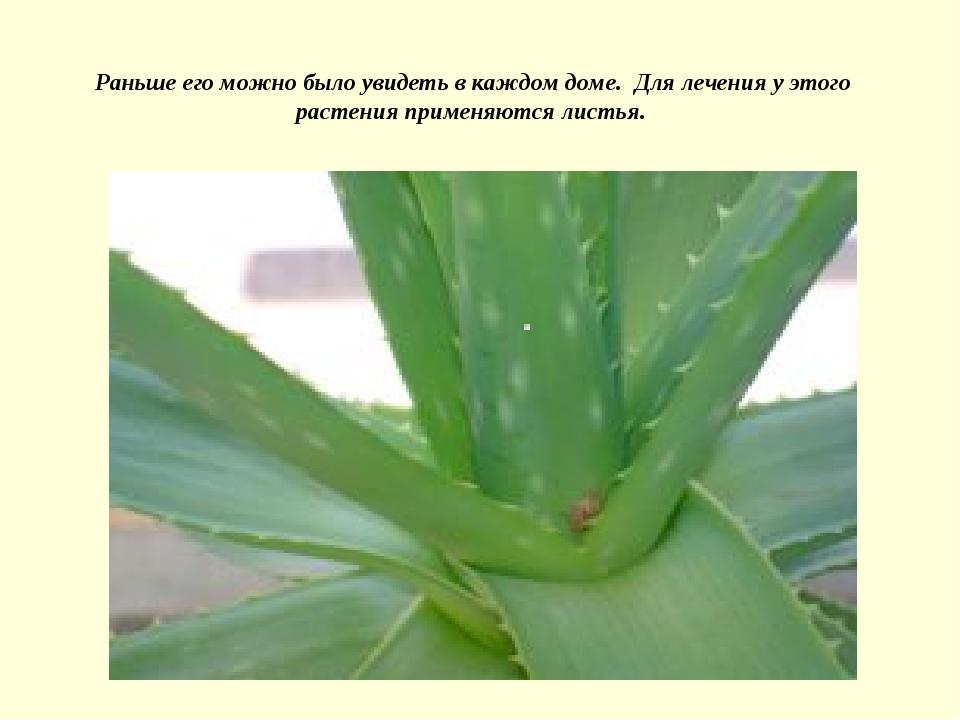 Раньше его можно было увидеть в каждом доме. Для лечения у этого растения при...