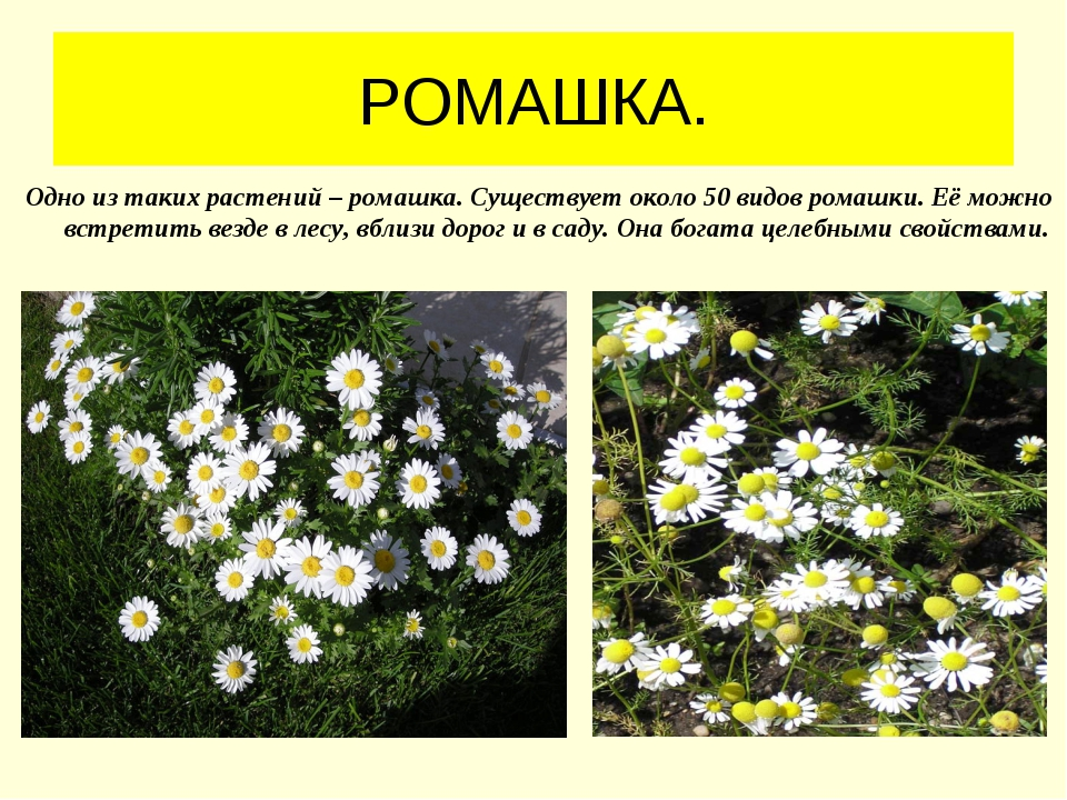 РОМАШКА. Одно из таких растений – ромашка. Существует около 50 видов ромашки....