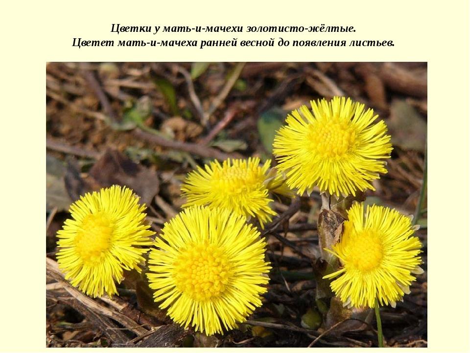 Цветки у мать-и-мачехи золотисто-жёлтые. Цветет мать-и-мачеха ранней весной д...