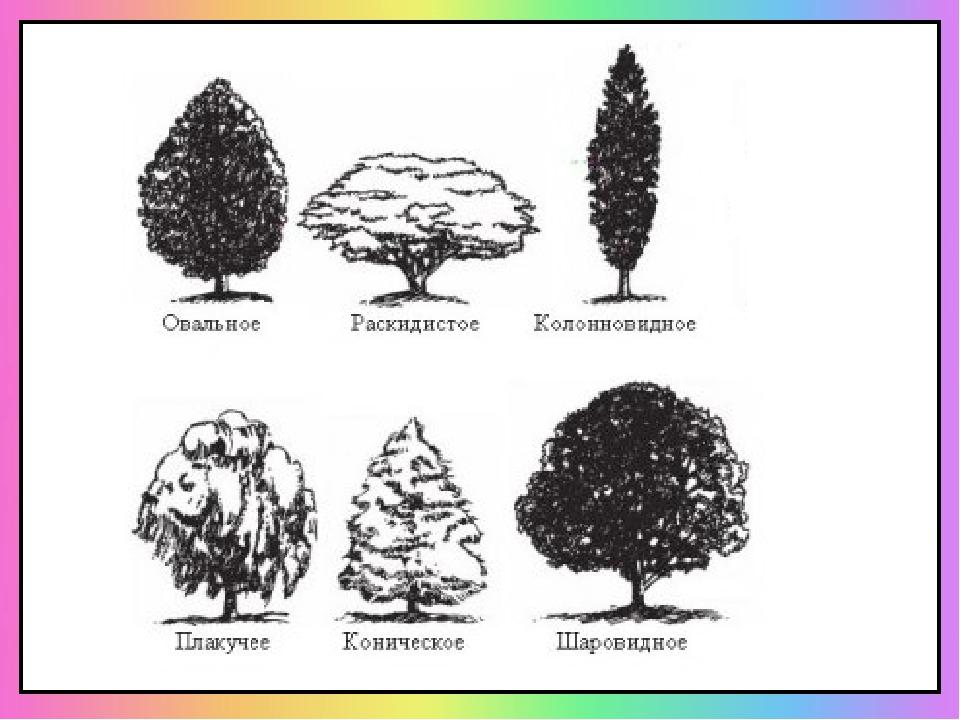Формы кроны деревьев