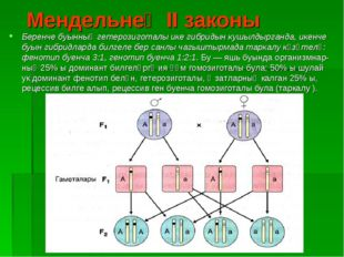 Мендельнең II законы Беренче буынның гетерозиготалы ике гибридын кушылдырган