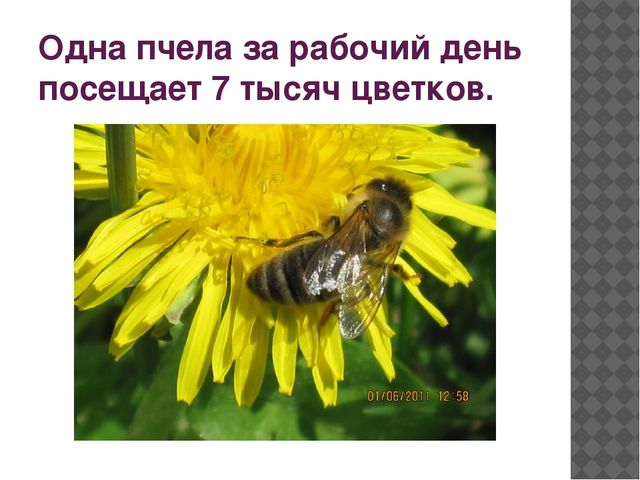 Одна пчела за рабочий день посещает 7 тысяч цветков.