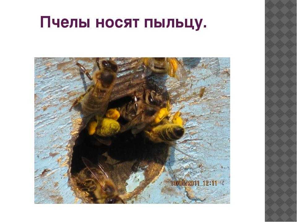 Пчелы носят пыльцу.