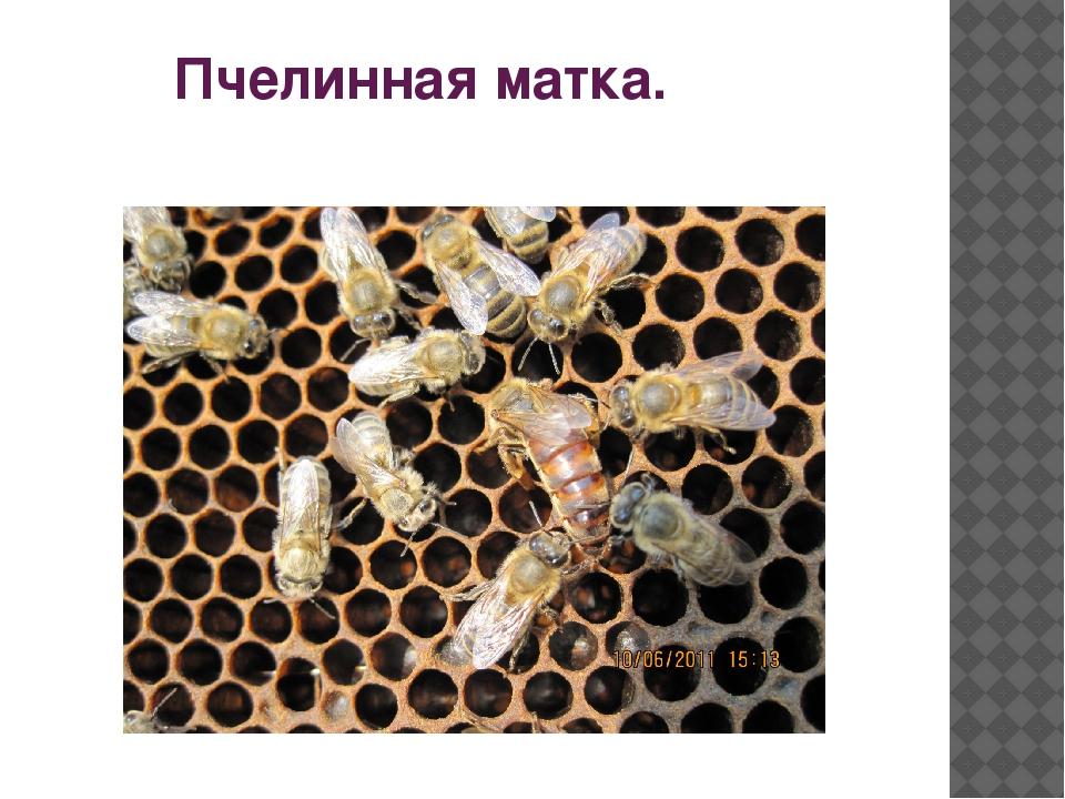 Пчелинная матка.