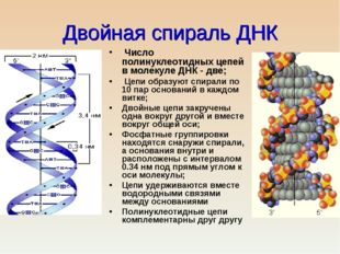 Двойная спираль ДНК Число полинуклеотидных цепей в молекуле ДНК - две; Цепи о