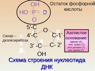 Схема строения нуклеотида ДНК с с с ссс сс О 4'-С С-1' - 3' -С С- 2' -С О 5'