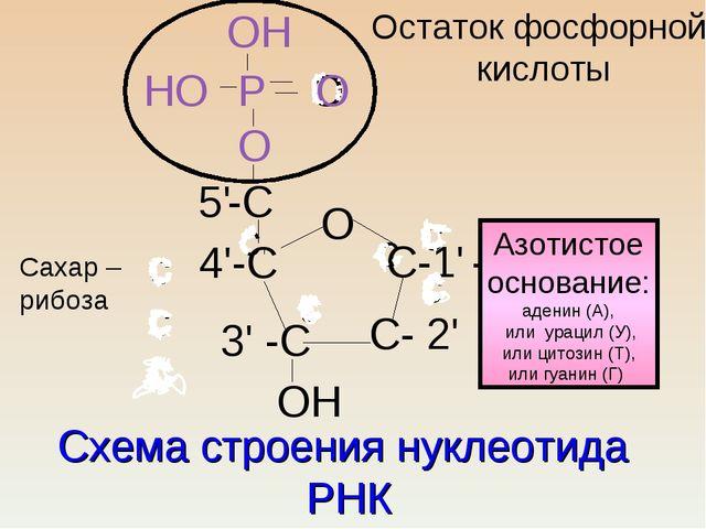 Схема строения нуклеотида РНК с с с ссс сс О 4'-С С-1' - 3' -С С- 2' -С О 5'...
