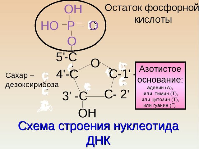 Схема строения нуклеотида ДНК с с с ссс сс О 4'-С С-1' - 3' -С С- 2' -С О 5'...