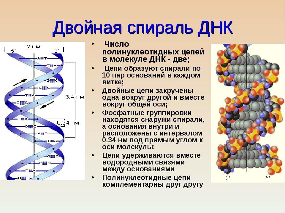 Двойная спираль ДНК Число полинуклеотидных цепей в молекуле ДНК - две; Цепи о...