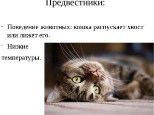 Предвестники: Поведение животных: кошка распускает хвост или лижет его. Низки