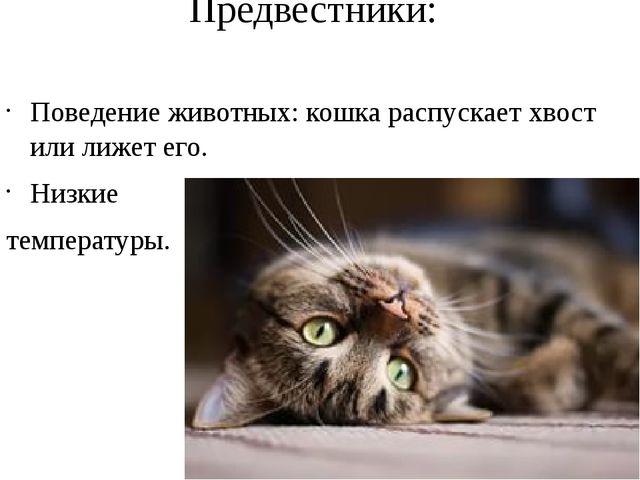 Предвестники: Поведение животных: кошка распускает хвост или лижет его. Низки...