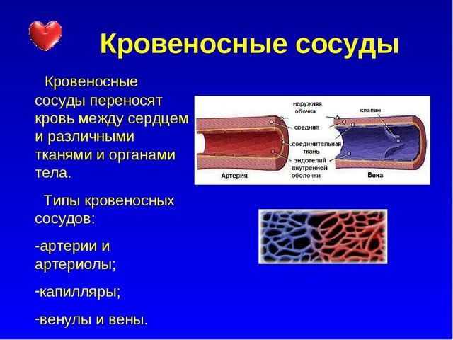 Кровеносные сосуды Кровеносные сосуды переносят кровь между сердцем и различ...
