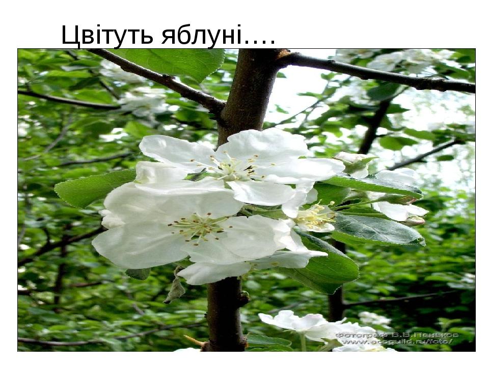 Цвітуть яблуні….