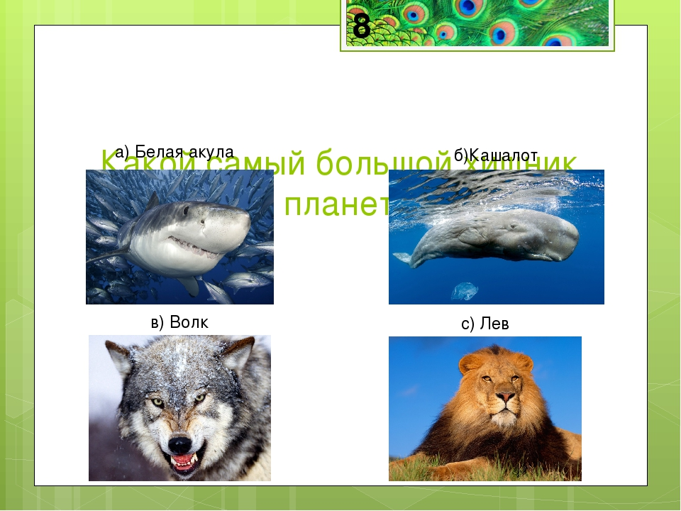 Кашалот— самый большой хищник на планете и среди водных и среди сухопутных ж...
