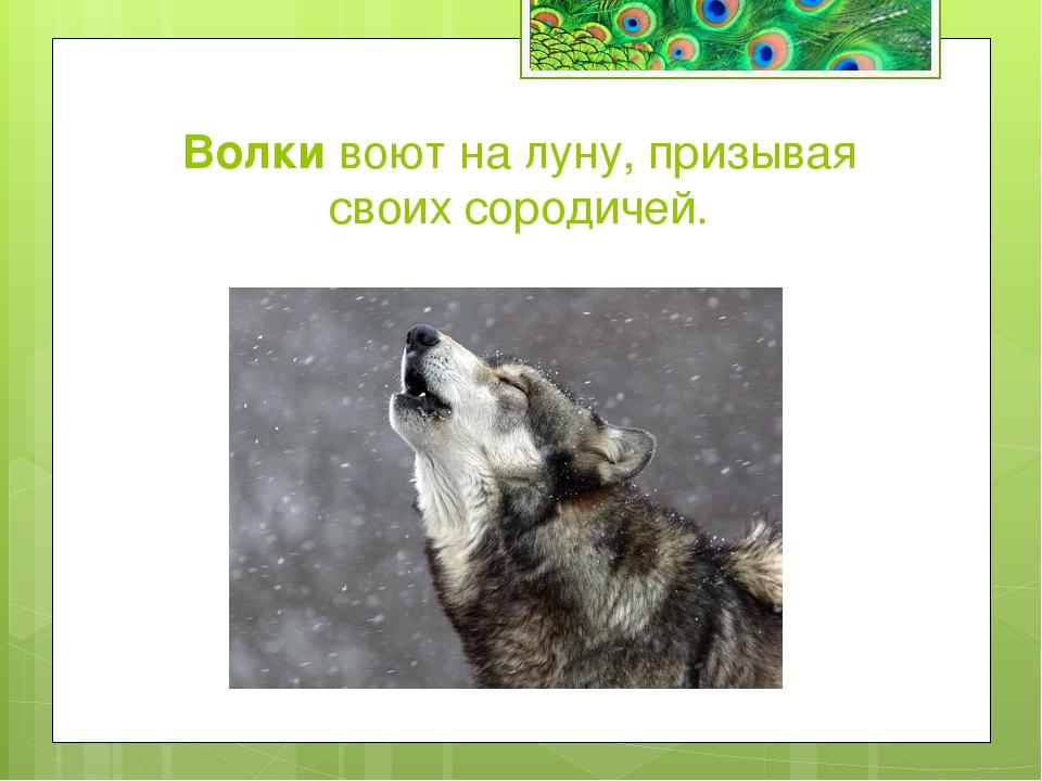 Какое животное может разными глазами смотреть в разные стороны? а) Лемур б) Х...