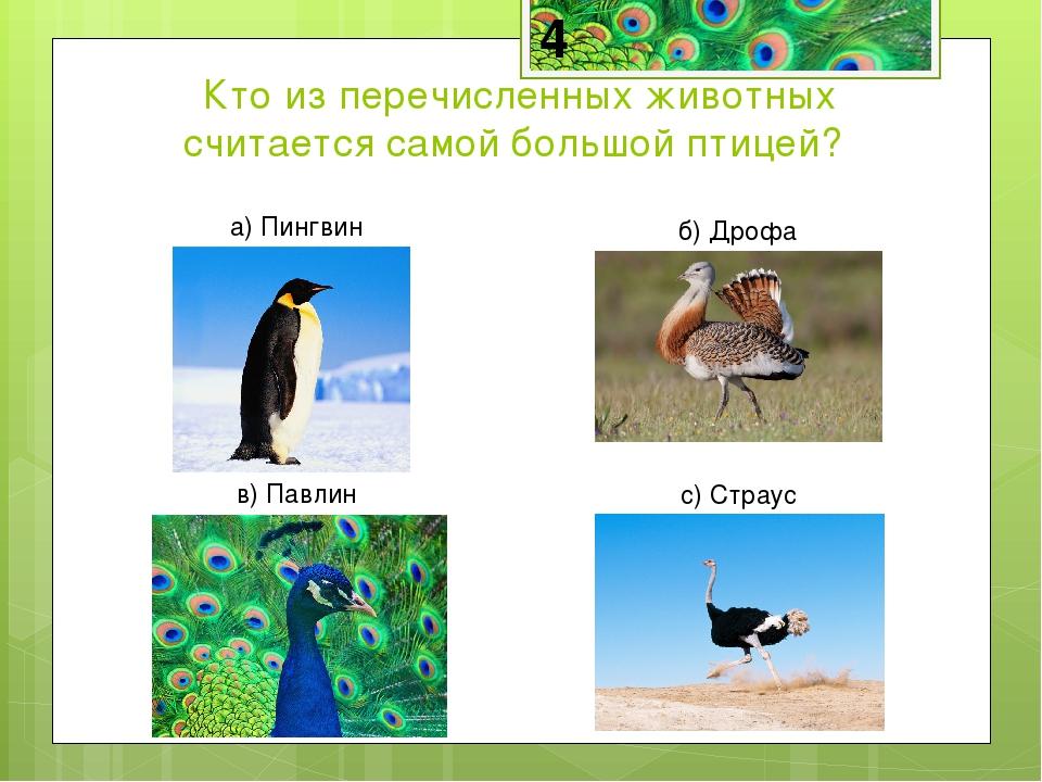 Страус-самая большая птица на Земле. Средний страус имеет рост 2,5 м и весит...