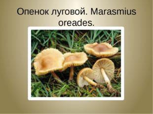 Опенок луговой. Marasmius oreades.