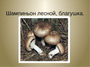 Шампиньон лесной, благушка. Agaricus silvatikus.