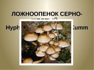 ЛОЖНООПЕНОК СЕРНО-ЖЕЛТЫЙ. Hypholoma fasciculare Kumm
