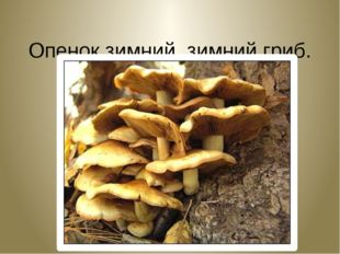 Опенок зимний, зимний гриб. Flammulina velutipes.