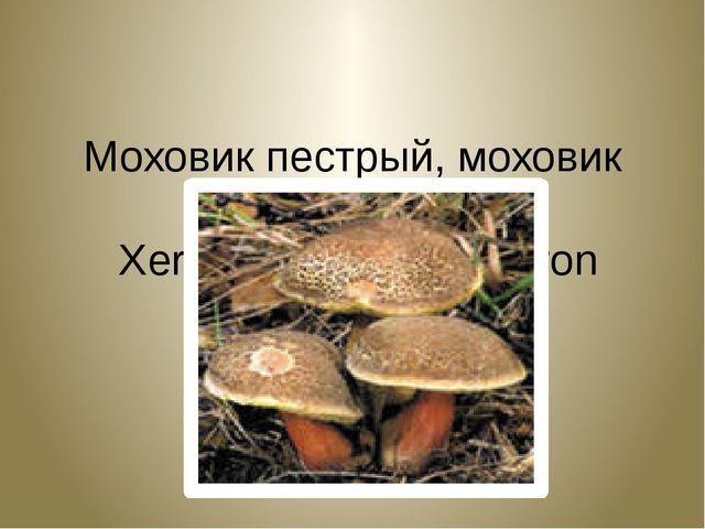 Моховик пестрый, моховик трещиноватый. Xerocomus chrysenteron