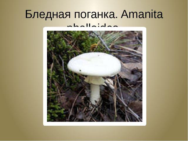 Бледная поганка. Amanita phalloides.