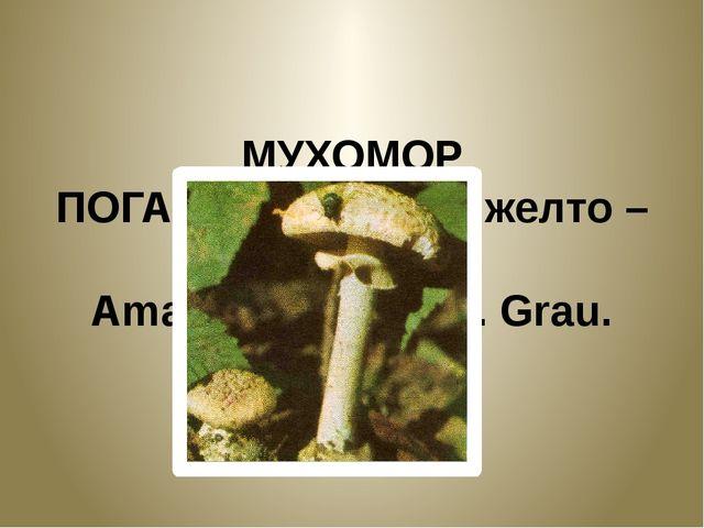 МУХОМОР ПОГАНКОВИДНЫЙ, желто – зеленый. Amanita citrine S.F. Grau.