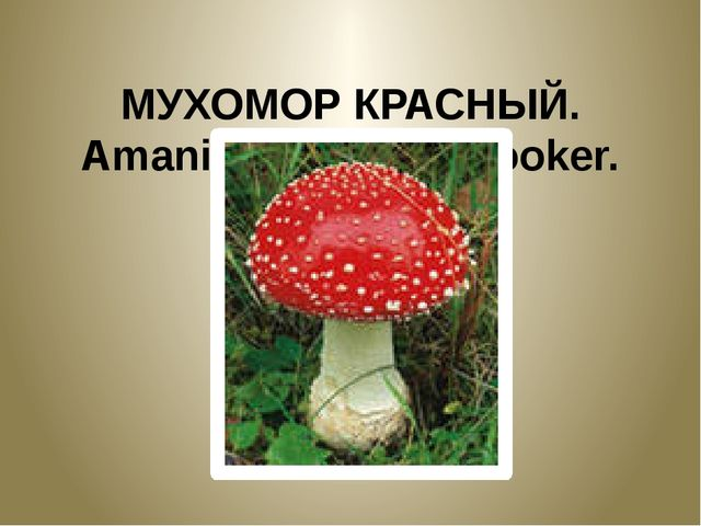 МУХОМОР КРАСНЫЙ. Amanita muscaria Hooker.