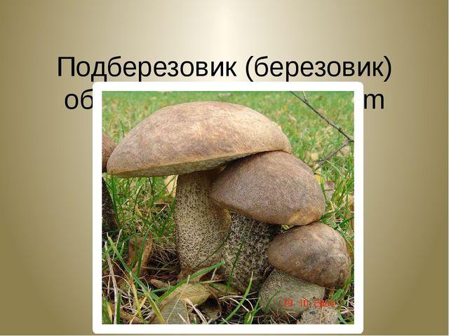 Подберезовик (березовик) обыкновенный. Leссinum scabrum.