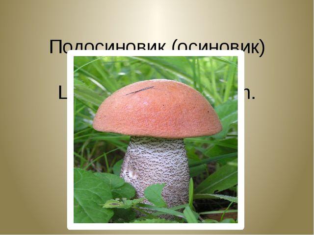 Подосиновик (осиновик) красный. Leссinum aurantiakum.