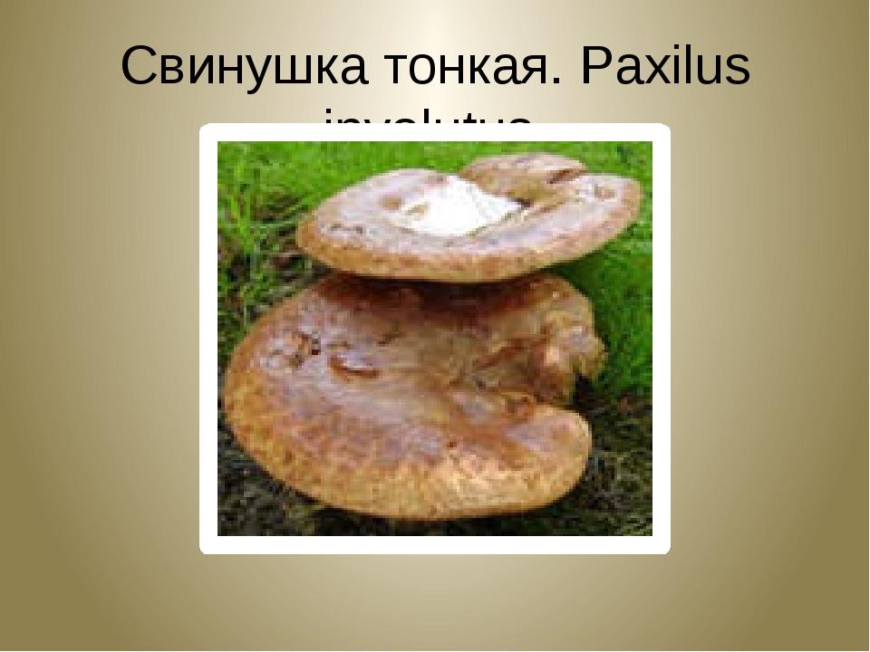 Свинушка тонкая. Paxilus involutus.