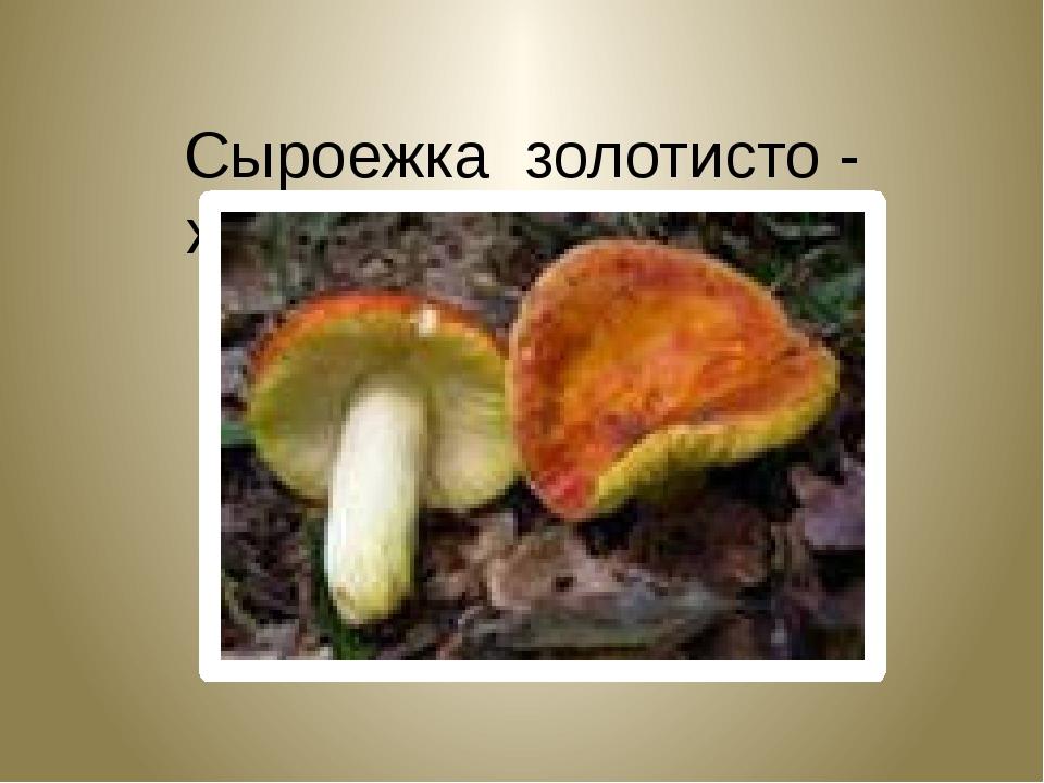 Сыроежка золотисто - желтая. Russula lutea.