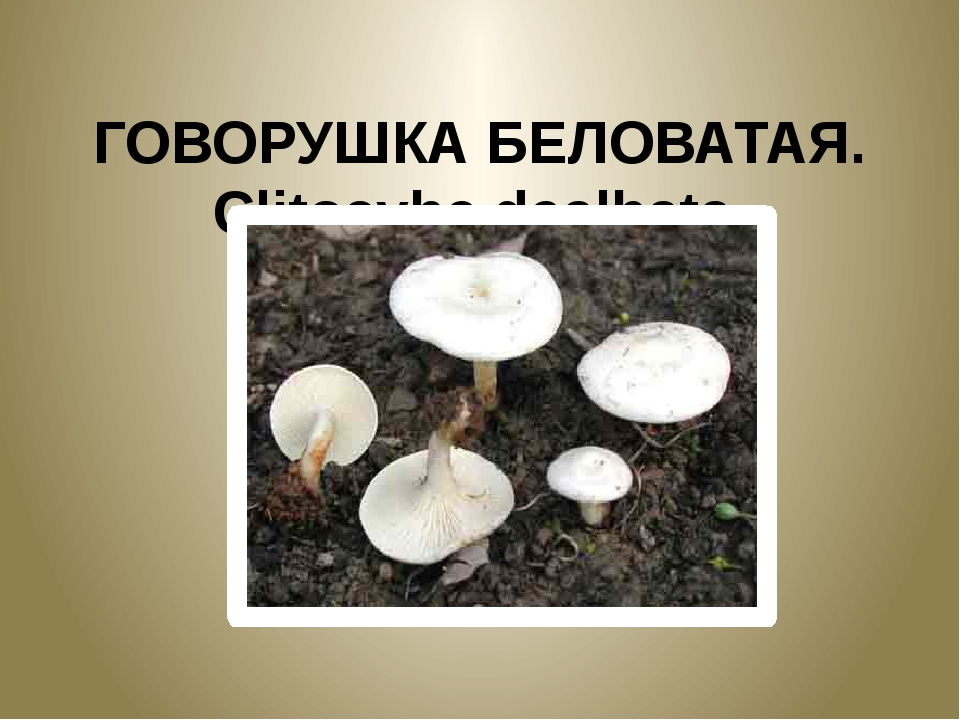 ГОВОРУШКА БЕЛОВАТАЯ. Clitocybe dealbata.