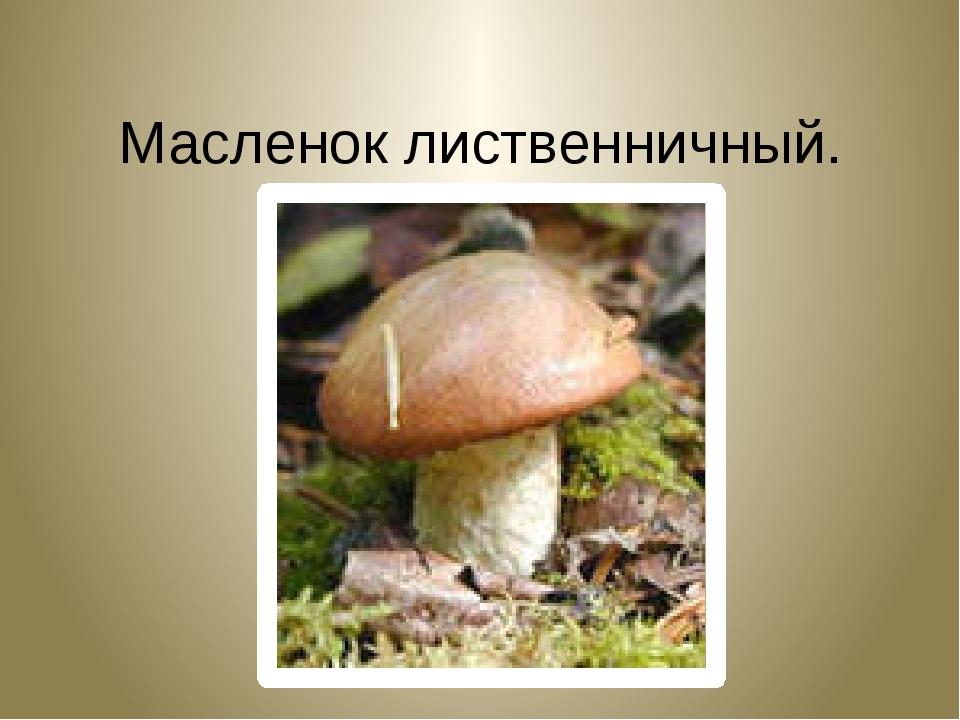 Масленок лиственничный. Suillus grevillei.
