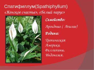 Спатифиллум(Spathiphyllum) «Женское счастье», «Белый парус» Семейство: Ароидн
