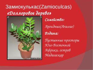 Замиокулькас(Zamioculcas) «Доллоровое дерево» Семейство: Ароидные(Araceae) Ро