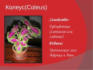 Колеус(Coleus) Семейство: Губоцветные (Lamiaceae или Labiatae) Родина: Тропич