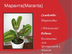 Маранта(Maranta) Семейство: Марантовые ( Marantaceae) Родина: Болотистые леса