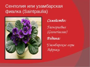 Сенполия или узамбарская фиалка (Saintpaulia) Семейство: Гаснериевые (Gesneri
