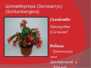 Шлюмбергера (Зигокактус) (Schlumbergera) Семейство: Кактусовые (Cactaceae) Ро
