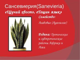 Сансевиерия(Sanevieria) «Щучий хвост», «Тещин язык» Семейство: Агавовые (Agav
