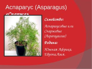 Аспарагус (Asparagus) «Спаржа» Семейство: Аспарагусовые или Спаржевые (Aspara