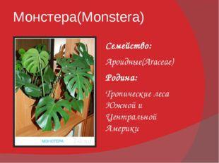 Монстера(Monstera) Семейство: Ароидные(Araceae) Родина: Тропические леса Южно