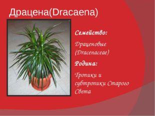 Драцена(Dracaena) Семейство: Драценовые (Dracenaceae) Родина: Тропики и субтр