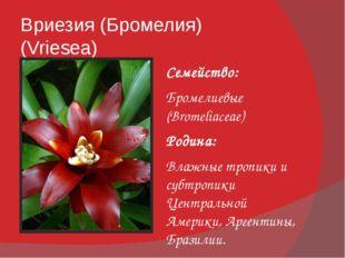 Вриезия (Бромелия) (Vriesea) Семейство: Бромелиевые (Bromeliaceae) Родина: Вл