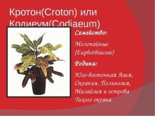 Кротон(Croton) или Кодиеум(Codiaeum) Семейство: Молочайные (Euphorbiaceae) Ро