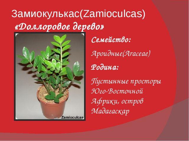 Замиокулькас(Zamioculcas) «Доллоровое дерево» Семейство: Ароидные(Araceae) Ро...