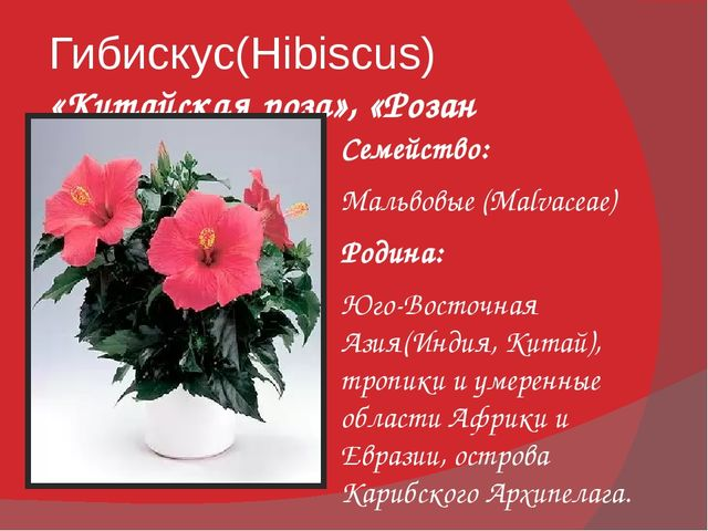 Гибискус(Hibiscus) «Китайская роза», «Розан китайский» Семейство: Мальвовые (...