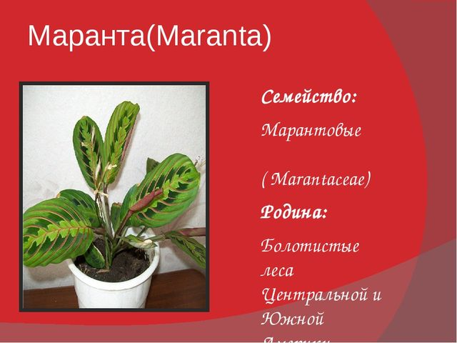 Маранта(Maranta) Семейство: Марантовые ( Marantaceae) Родина: Болотистые леса...