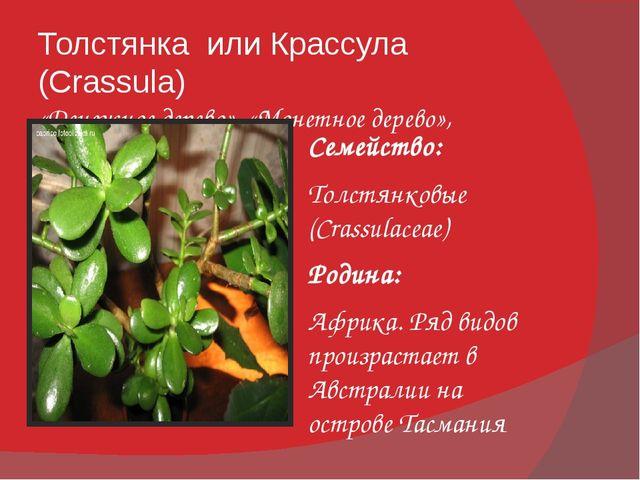 Толстянка или Крассула (Crassula) «Денежное дерево», «Монетное дерево», «Жиря...